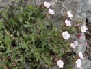 Siberian Chalk-plant