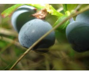 Siberische Blauwe Bosbes