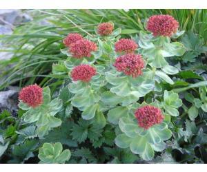 Rozenwortel  of Goud wortel